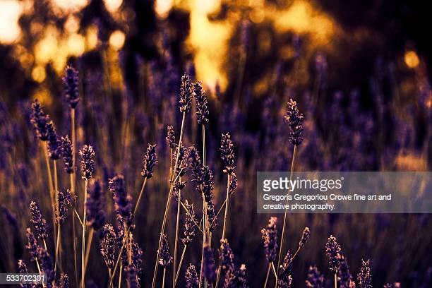 lavender flowers and sunset - gregoria gregoriou crowe fine art and creative photography. stock-fotos und bilder