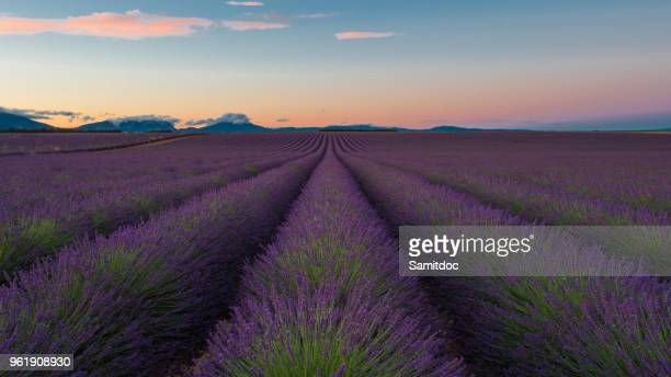 Lavender flowers blooming scented fields in endless rows. Landscape in Valensole plateau, Provence, France, Europe.