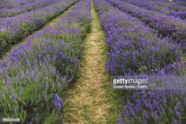 lavender flowers growing in field - bortes cristian stock photos and pictures