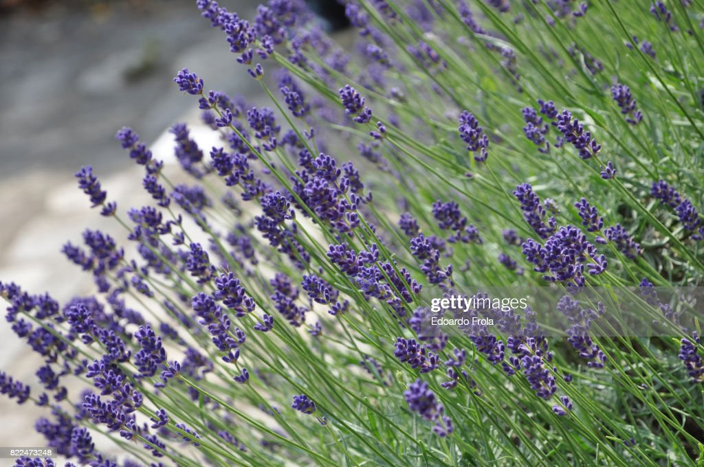 Lavender flowers in bloom : Stock Photo