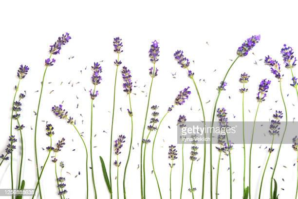 lavender flowers isolated on white background. - lavender color foto e immagini stock