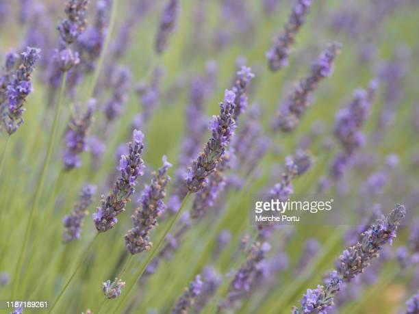 lavender flowers - castilla la mancha fotografías e imágenes de stock