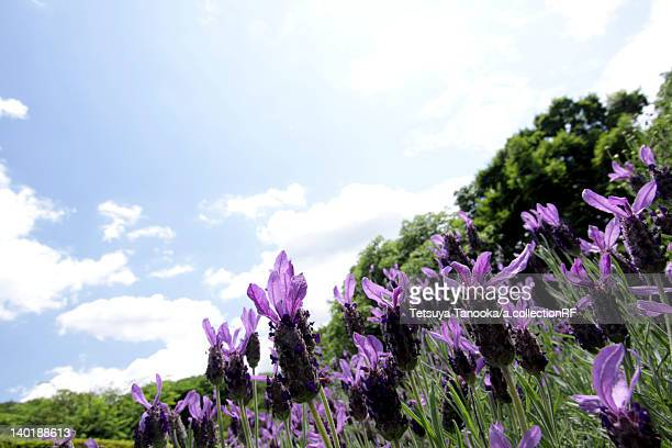 lavender flowers - chofu stock pictures, royalty-free photos & images