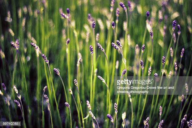 lavender flowers - gregoria gregoriou crowe fine art and creative photography stock pictures, royalty-free photos & images
