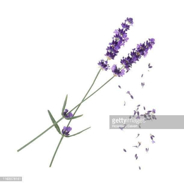 lavender flowers with falling florets on white. - silhouette stock pictures, royalty-free photos & images