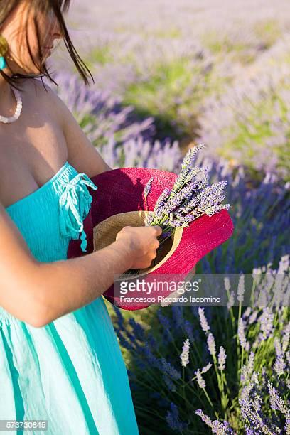 lavender harvesting - francesco riccardo iacomino france foto e immagini stock