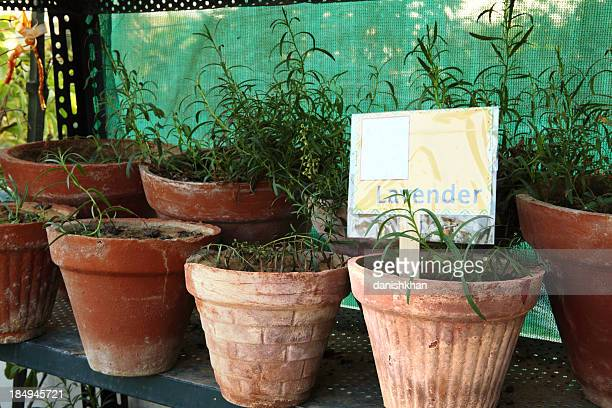Lavender Herb Pots on Shelve in Terrace Garden
