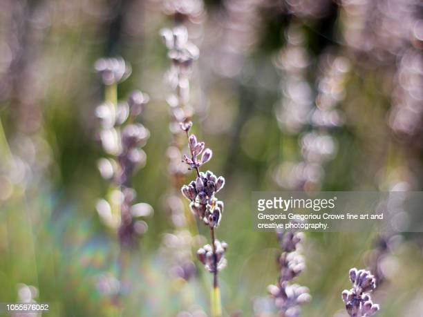 lavender in autumn light - gregoria gregoriou crowe fine art and creative photography stock pictures, royalty-free photos & images