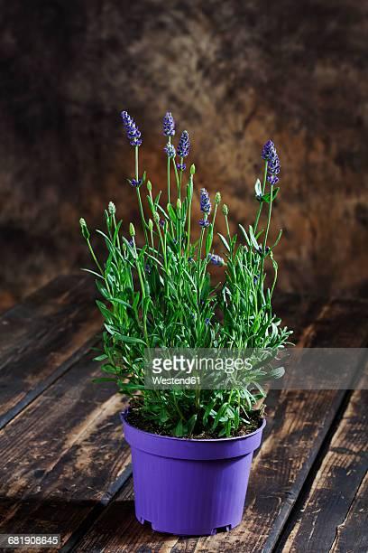 Lavender in blue pot