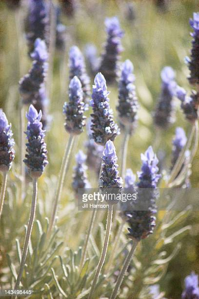 lavender in morning light - jill harrison stock pictures, royalty-free photos & images