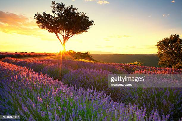 Lavender in Provence at sunset