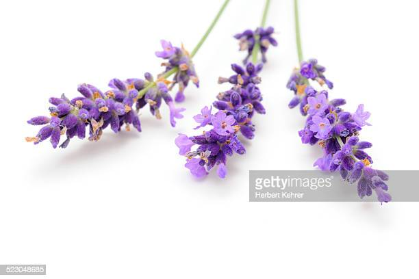 Lavender -Lavandula angustifolia-
