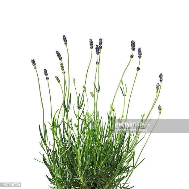 Lavender Lavandula sp plant
