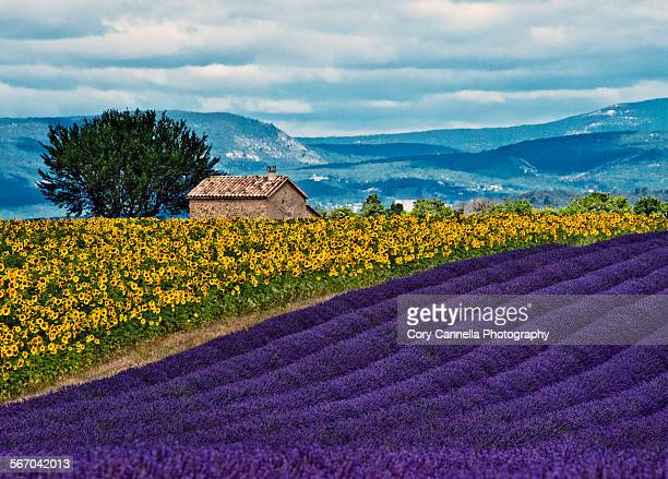 Lavender meets Sunflowers South of France