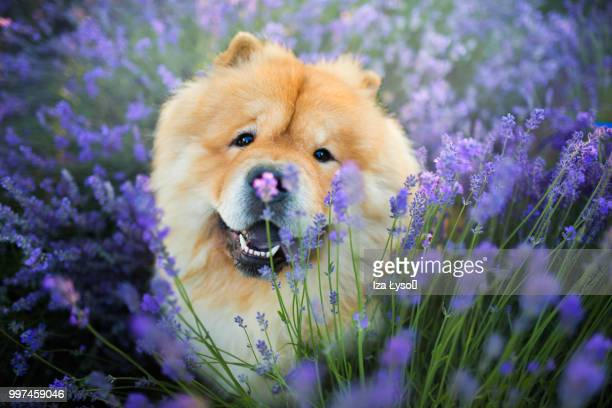 lavender nose - chow stock pictures, royalty-free photos & images