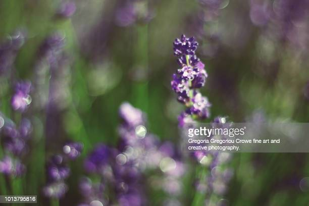 lavender - gregoria gregoriou crowe fine art and creative photography stock pictures, royalty-free photos & images