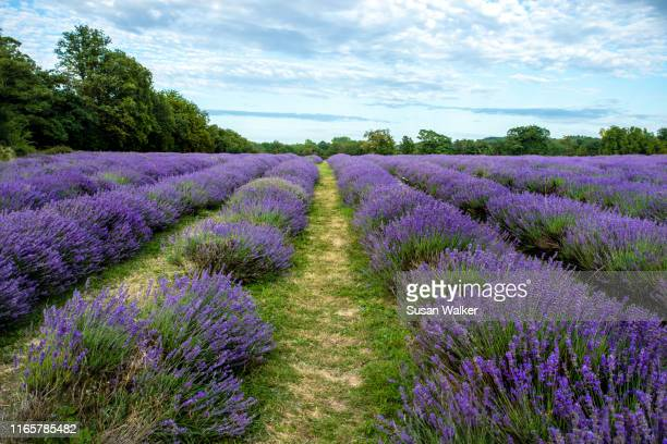 lavender - repetition stock pictures, royalty-free photos & images