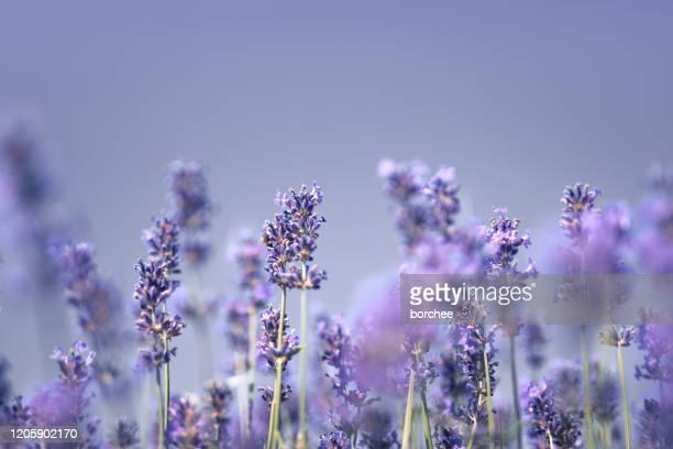 lavanda - lavender color foto e immagini stock