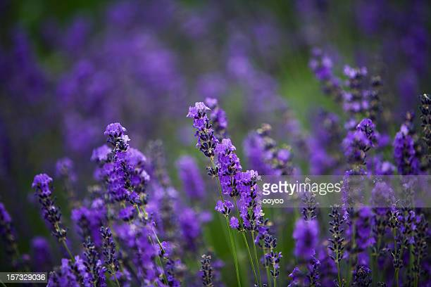 lavender - purple lilac stock pictures, royalty-free photos & images