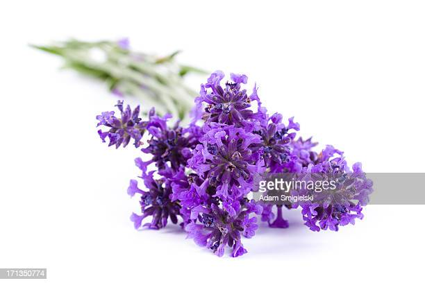 lavender - lavender color stock pictures, royalty-free photos & images