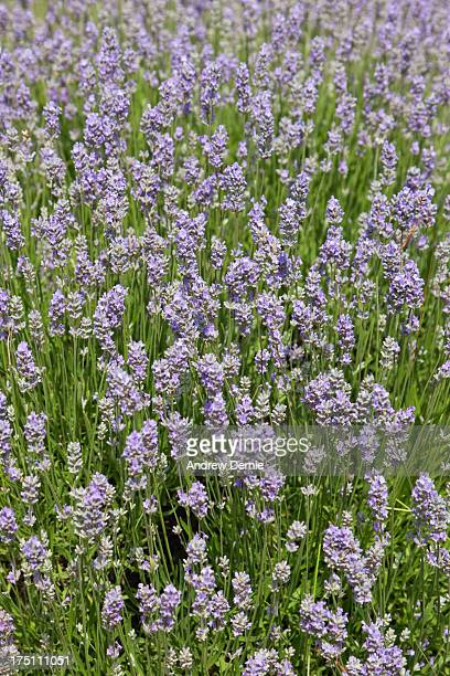 lavender - andrew dernie photos et images de collection