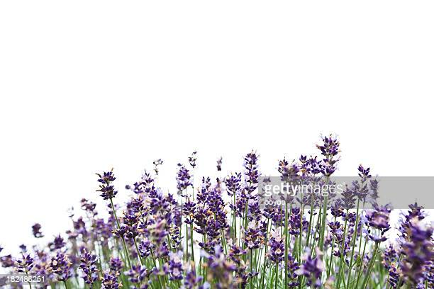 lavender - lavender stock pictures, royalty-free photos & images