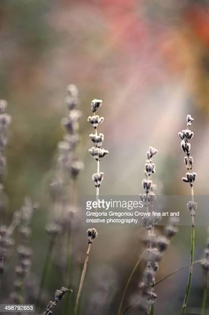 lavender - gregoria gregoriou crowe fine art and creative photography stockfoto's en -beelden