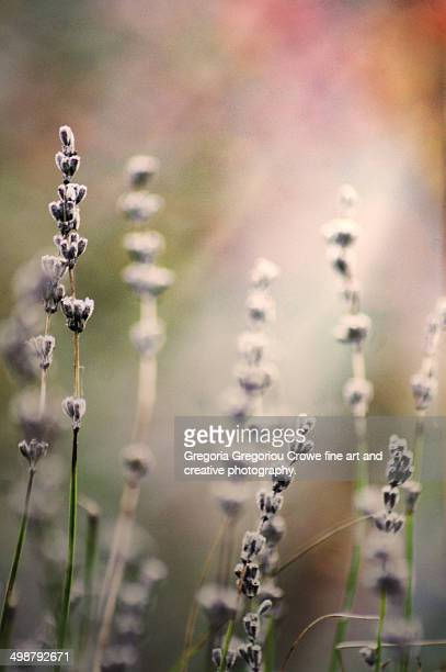 lavender - gregoria gregoriou crowe fine art and creative photography. stock-fotos und bilder