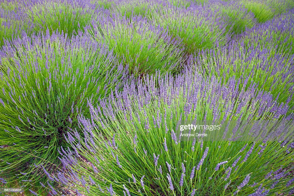 Lavender : Stock Photo