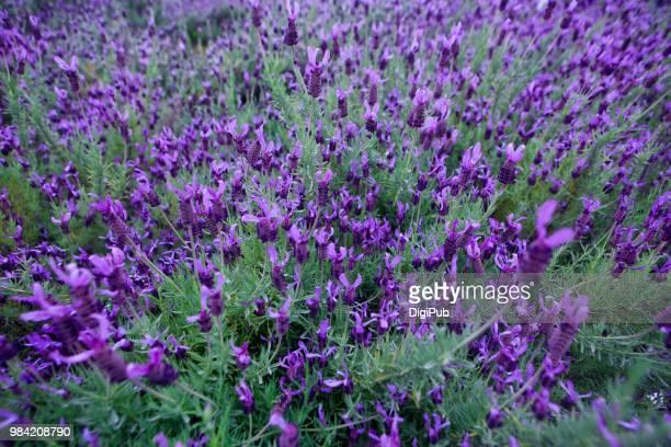 lavender - imagenes gratis fotografías e imágenes de stock