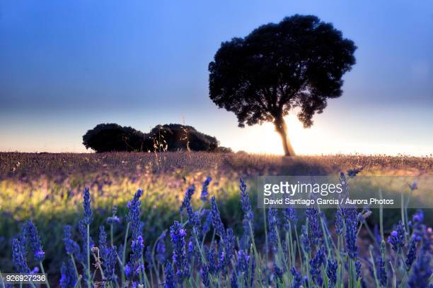 Lavender plantation, Brihuega, Guadalajara province, Castilla La Mancha, Spain