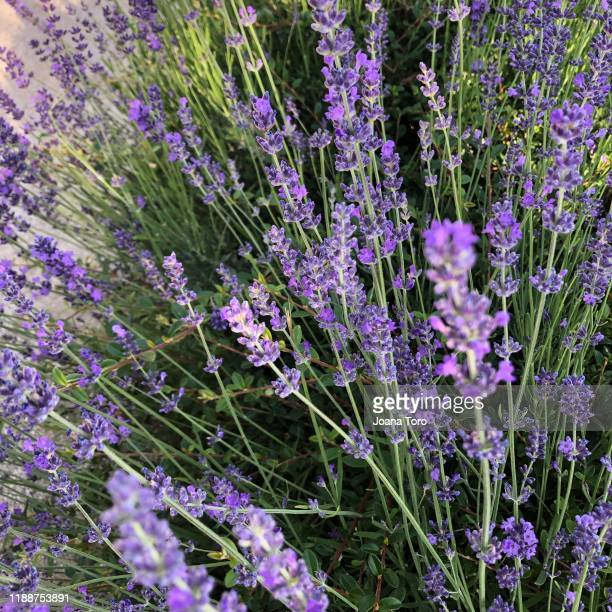 lavender plant-conceptual nature - joana toro stock pictures, royalty-free photos & images