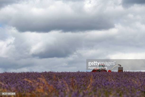 Lavender plants are harvested at Bridestowe Lavender Estate on January 10 2018 in Launceston Australia The estate runs over 260 acres and is the...