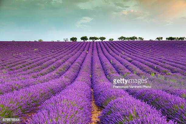 Lavender raws and trees.