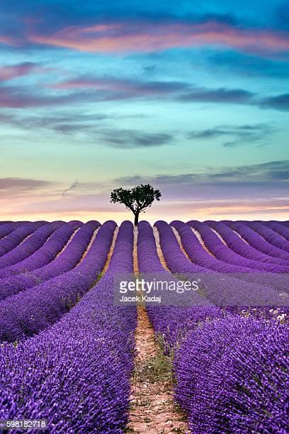 lavender summer sunset landscape - lavender color ストックフォトと画像