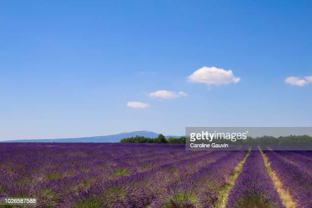 lavenders and mont ventoux - モンヴァントゥー ストックフォトと画像