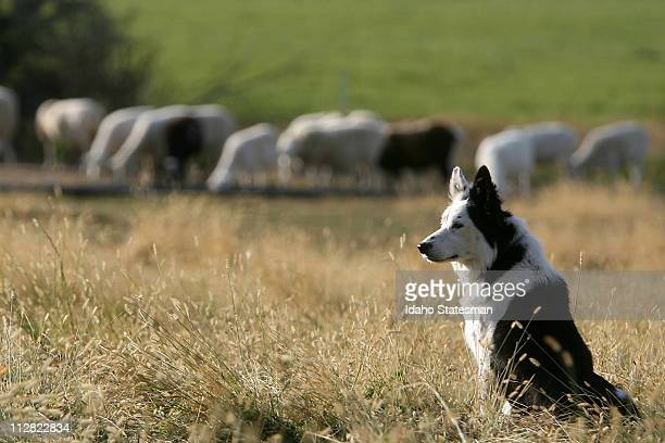 Lavon Calzacorta from Wilder and his sheep dog Tess pictured October 8 are Idaho's champion sheepdog competition team and recently finished fourth...