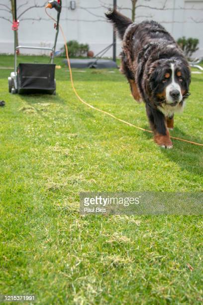 lawn after scarification - grass removed by dethatcher and a bernese dog  in the garden - ivraie photos et images de collection