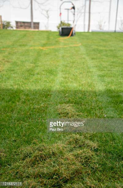 lawn after scarification - grass removed by dethatcher - ivraie photos et images de collection