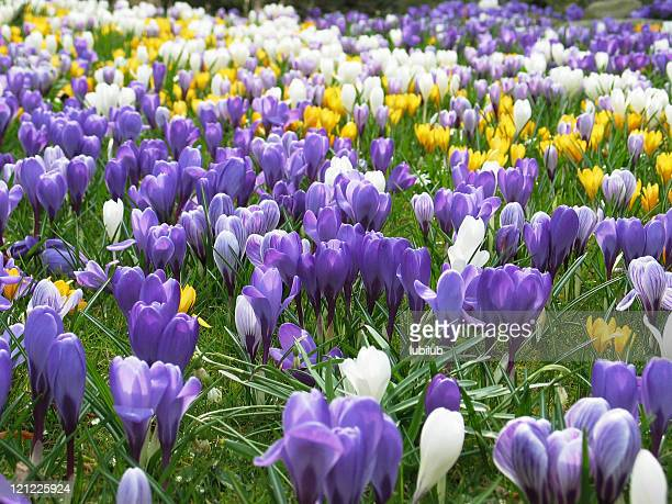 Lawn full of purple, white and yellow crocus in spring