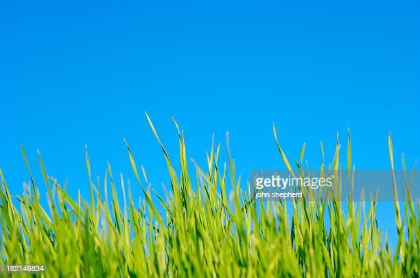 lawn grass against pure blue sky, summer