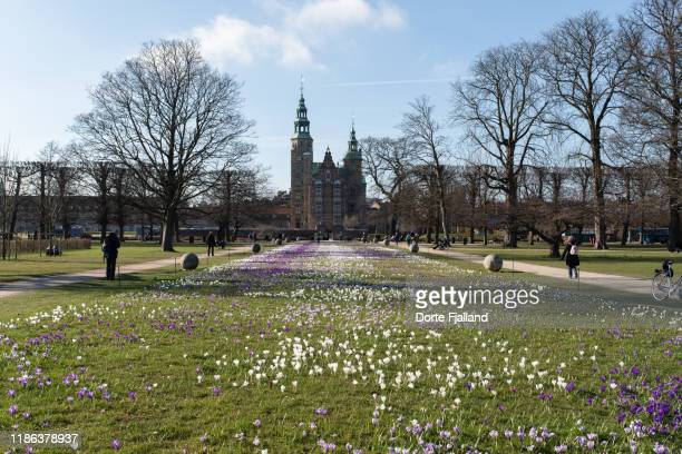 lawn with white and purple crocuses in the kings garden (kongens have) in copenhagen in early spring - dorte fjalland stock pictures, royalty-free photos & images