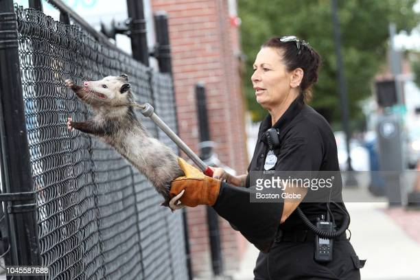 Lawrence Animal Control officer Ellen Bistany comes to the rescue of an opossum that had become stuck on top of a fence on Broadway in Lawrence MA on...