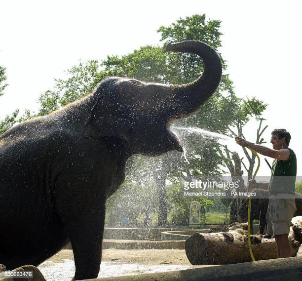 LayangLayang a Malaysian elephant getting a shower from her keeper Jim Robson at London Zoo as temperatures soared in the capital Temperatures were...
