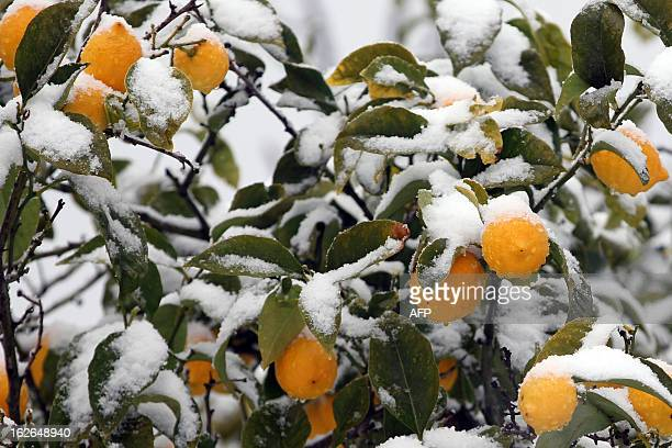 A layer of snow covers a lemon tree in the district of Salario in Ajaccio Corsica on February 25 2013 AFP PHOTO / PASCAL POCHARDCASABIANCA