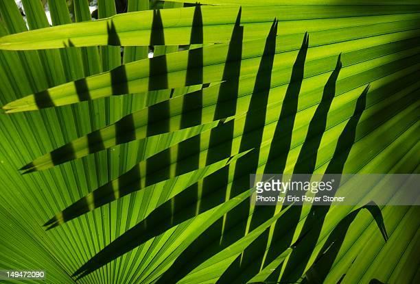 Layers of fan palm foliage