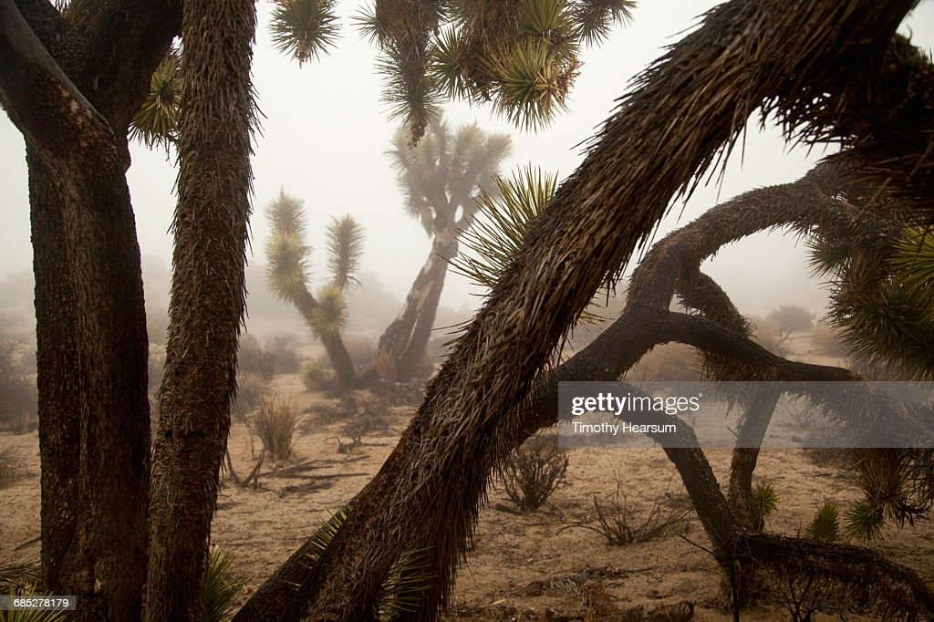 Layers of Joshua Trees on a foggy day : Stock Photo