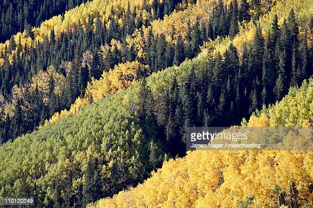 layers of yellow aspen and evergreen in the fall, white river national forest, colorado, united states of america, north america - white river national forest stock photos and pictures
