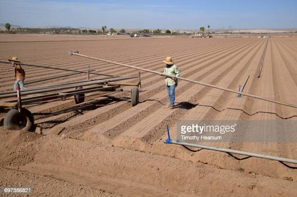 Laying irrigation pipe to ready field for planting