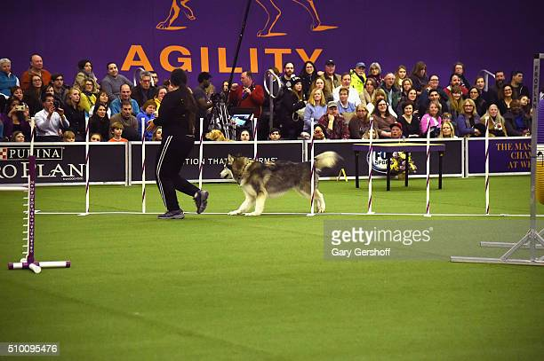 Layla an Alaskan Malamute competes in the Westminster Kennel Club and AKC Meet and Compete at Pier 92 on February 13 2016 in New York City